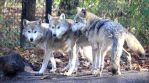 Mexican Wolfs by cindy1701d