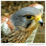 Common Kestrel by In-the-picture