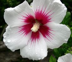 Rose of Sharon by IceGripp
