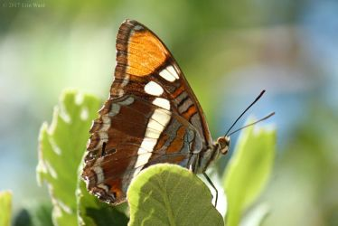 California Sister Butterfly by TurquoiseMoon