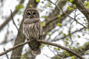 Barred Owl by CharlesWb