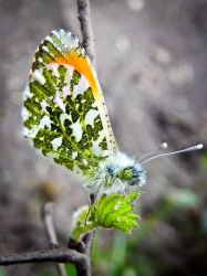 Orange Tip Butterfly by Iris-cup