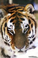 ..Eyes of the Tiger.. by WhiteSpiritWolf