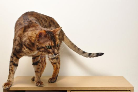 Bengal Cat Standing Stock 20150125-2 by FurLined