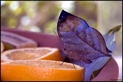 Indian Leaf Wing by fayerman