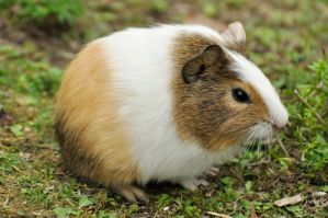 Sep 2015: Tiny Guinea Pig 2 by windfuchs