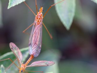 Crane Flies Mating by suhleap