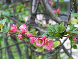 Blossom stock (Japanese quince) by LittleOph
