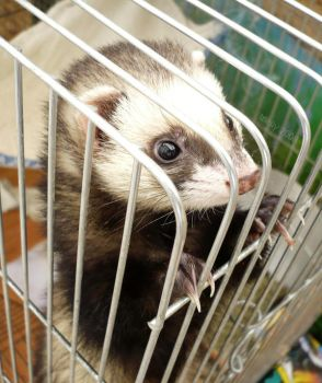 Ferret by T-Nelly