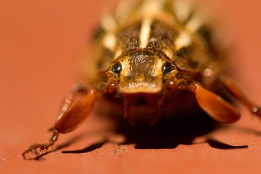 The face of the hissing beetle by Cyberpriest