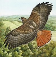 Red-Tailed Hawk by windfalcon