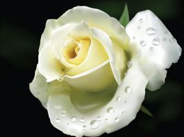 White Rose by Ronnytet