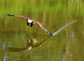 Water Skimming by BlackArrowPhotos