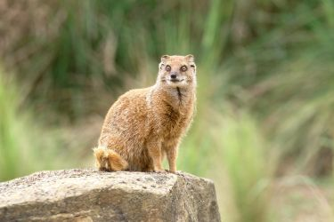 Yellow Mongoose 20180604-1 by FurLined