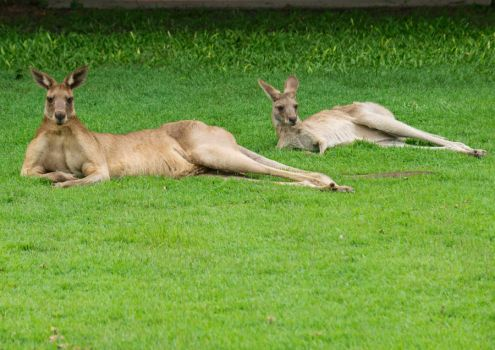 Two Eastern Grey Kangaroos Relaxing in a Campus Fi by Cairn73