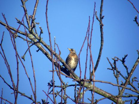 Fieldfare by DanaVarahi