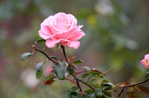 A single pink rose by MaresaSinclair