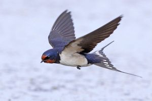 Barn Swallow by Jamie-MacArthur