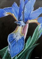 Iris Blue by azzadawn