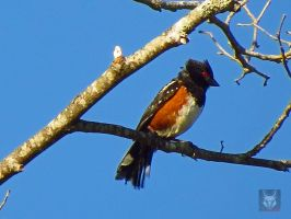 The Pointy Headed Towhee by wolfwings1