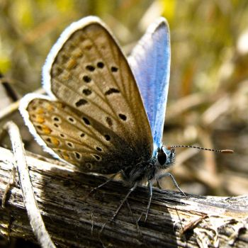 Little Blue Butterfly 4 by Youcef07