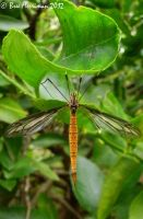 Crane Fly by BreeSpawn