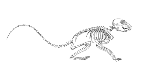 Skeleton Study Squirrel by TonadadelRio