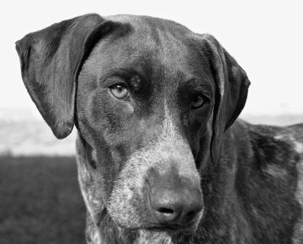 Portrait of a Pointer by kaleesue