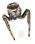 Jumping Spider Study by Smnt2000