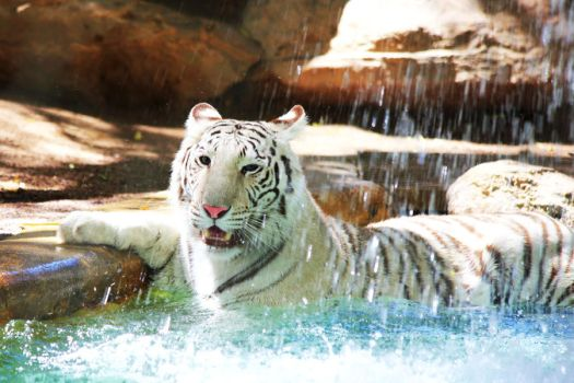 Stock: Tiger Bath by Celem