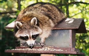 Hungry Raccoon by Lone---Wolf
