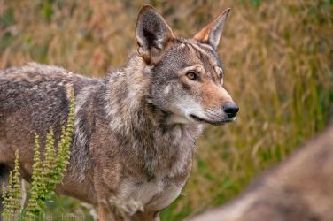 Red Wolf 9298 by robbobert