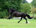 Friesian Stallion Stock Summer by LarissaAllen
