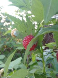 Differents Raspberries by RoyMind