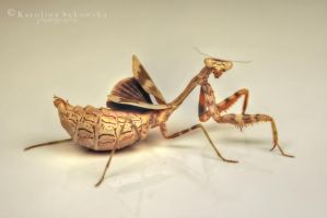 Parasphendale Agrionina by carlarush
