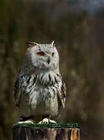 Owl Stock 05 by NellyGraceNG