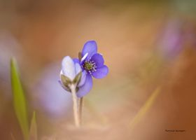 Hepatica and some bokeh by roisabborrar