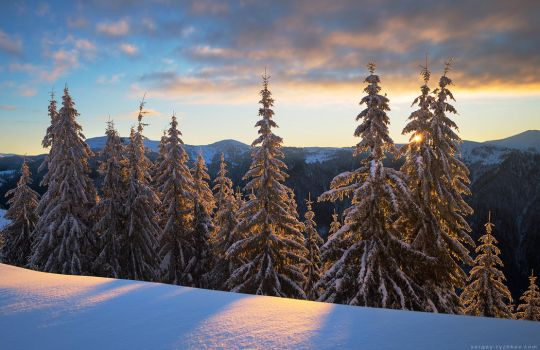 Snowy winter spruce forest in morning light by Sergey-Ryzhkov