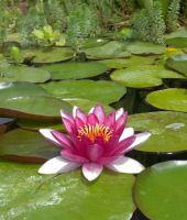 Water Lily by ShipperTrish