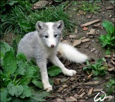 What a baby arctic fox by woxys