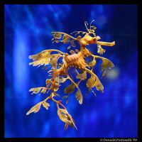 Leafy Sea Dragon by TVD-Photography