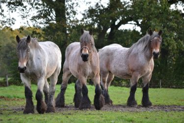 Big draft horses stock by horse-power