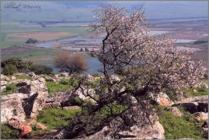 Almond tree with view by ShlomitMessica