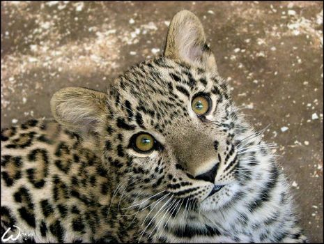 Baby leopard: am I sweet? by woxys