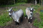 Goats stock by CindysArt-Stock