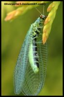 Green Lacewing Resting by oliverporter3