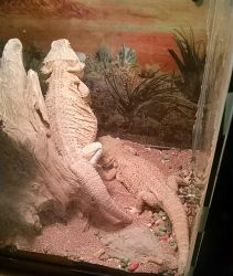 Bearded Dragons by Aleu10155