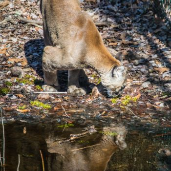 Florida Panther 2 by DustinHern