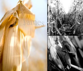 Dried Corn Triptych by y-me