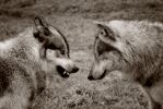 wolves face- off by Yair-Leibovich